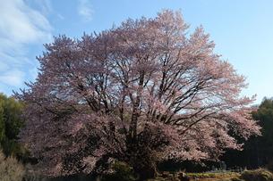 天王桜の写真素材 [FYI01132326]