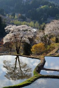 儀明の桜の写真素材 [FYI01132327]