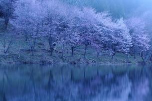 中綱湖の桜の写真素材 [FYI01132328]