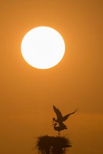 コウノトリと夕陽の素材 [FYI01135518]