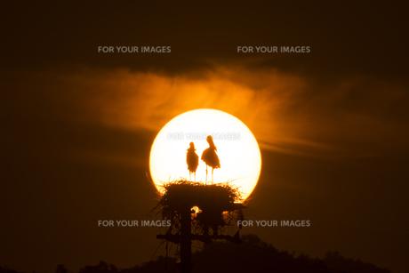コウノトリと夕陽の素材 [FYI01135532]
