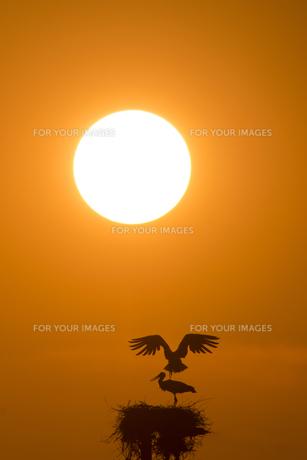 コウノトリと夕陽の素材 [FYI01135591]