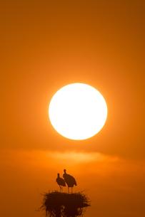 コウノトリと夕陽の素材 [FYI01135814]