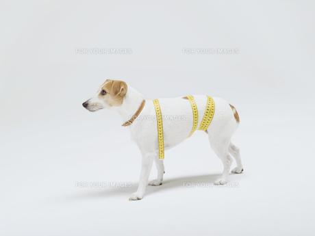 メジャーを巻いた犬の素材 [FYI01139348]