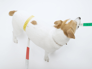 胴周りをメジャーで測る犬の素材 [FYI01139351]