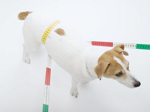胴周りをメジャーで測る犬の素材 [FYI01139353]