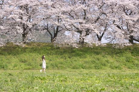 草原を歩く女性と桜並木の素材 [FYI01143619]
