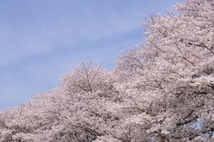 青空と桜の素材 [FYI01143658]