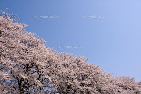 青空と桜の素材 [FYI01143665]