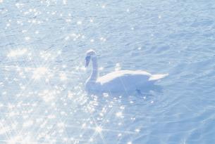 水面の白鳥の素材 [FYI01143868]