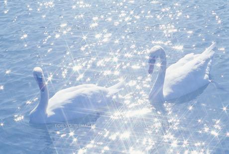 水面の白鳥の素材 [FYI01143885]