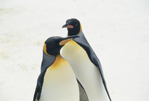 コウテイペンギンの素材 [FYI01143893]