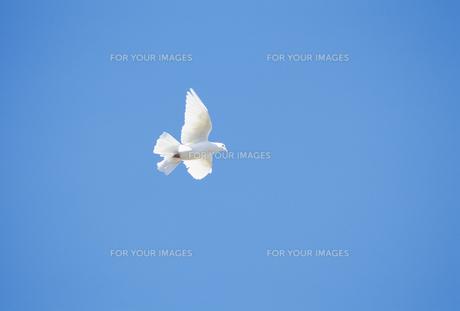 はばたく白い鳩の素材 [FYI01143899]