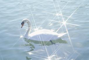 水面の白鳥の素材 [FYI01143907]