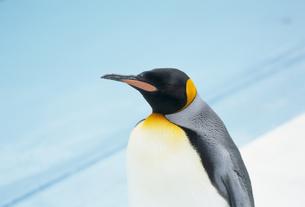 コウテイペンギンの素材 [FYI01144016]
