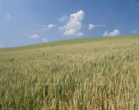 麦畑の素材 [FYI01144130]