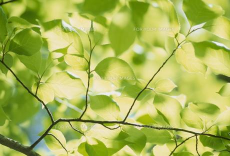 新緑の若葉の素材 [FYI01144167]