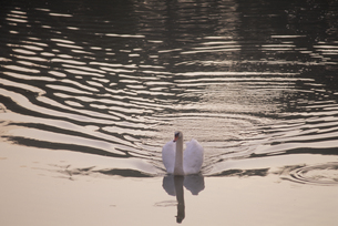 泳ぐ白鳥の素材 [FYI01144272]