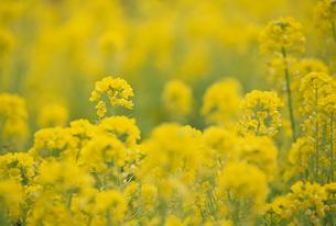 菜の花の素材 [FYI01144281]