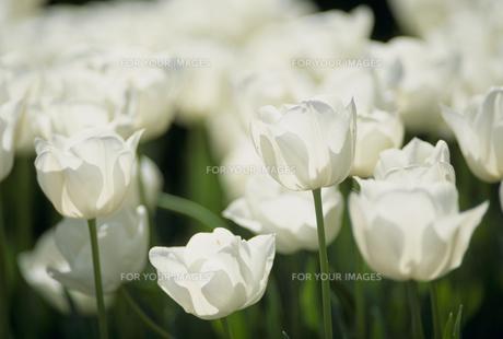 白いチューリップの素材 [FYI01144619]