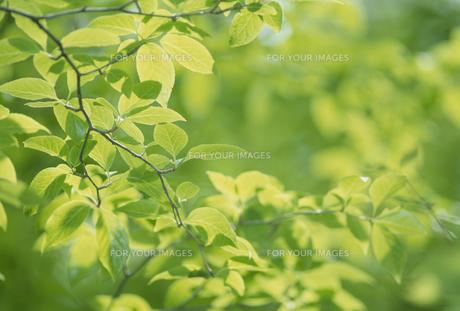 新緑の若葉の素材 [FYI01144667]