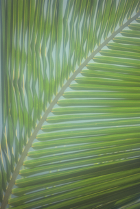 ヤシの葉の素材 [FYI01144762]