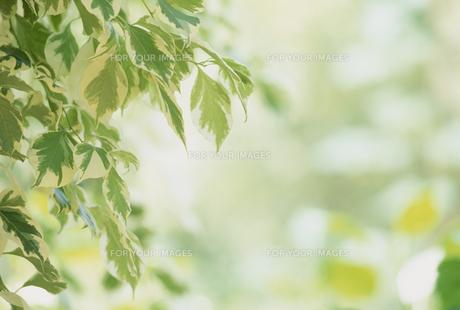 新緑の若葉の素材 [FYI01144814]