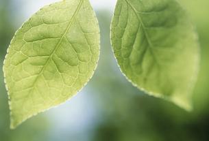 新緑の葉のアップの素材 [FYI01145545]