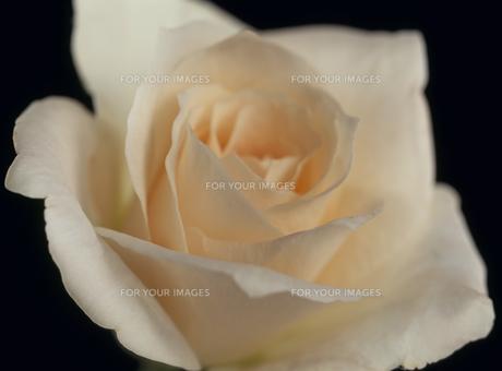 バラのアップ 白の素材 [FYI01145747]