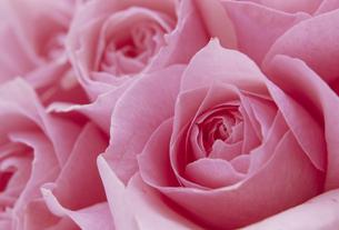 バラのアップ ピンクの素材 [FYI01145778]