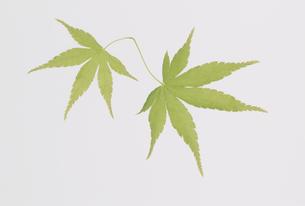 2枚の葉  新緑のモミジの素材 [FYI01145843]