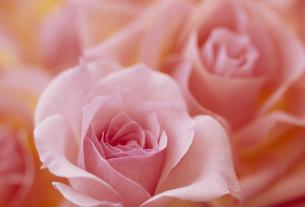 バラのアップ ピンクの素材 [FYI01145879]