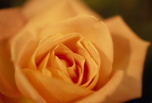 バラのアップ 黄の素材 [FYI01145962]