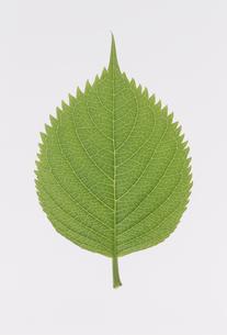 1枚の葉  アジサイの素材 [FYI01145994]