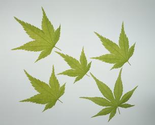 5枚の新緑のモミジの素材 [FYI01146089]
