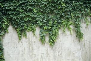コンクリート壁にアイビーの素材 [FYI01146113]
