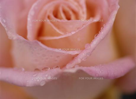 ピンクのバラと水滴の素材 [FYI01146182]
