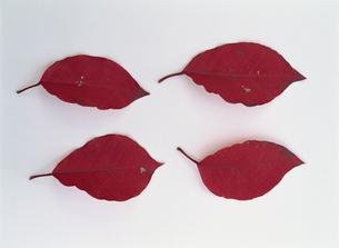 紅葉した葉の素材 [FYI01146310]