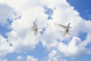 羽ばたくクジャクバト2羽と雲の素材 [FYI01146348]