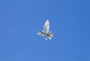 羽ばたくクジャクバトの素材 [FYI01146459]