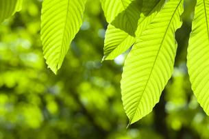 新緑の葉の素材 [FYI01146609]
