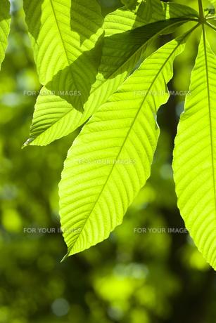 新緑の葉の素材 [FYI01146642]