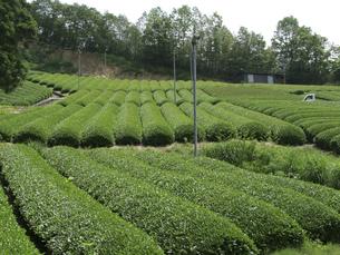 茶畑の素材 [FYI01149051]
