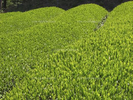 茶畑の素材 [FYI01149055]
