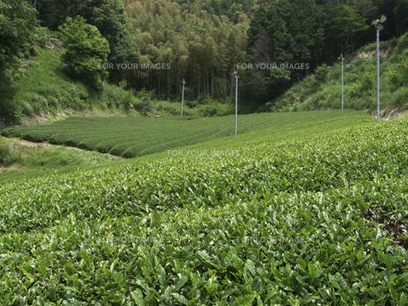 茶畑の素材 [FYI01149062]