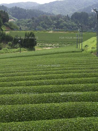 茶畑の素材 [FYI01149070]