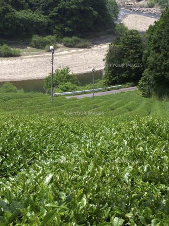 茶畑の素材 [FYI01149079]