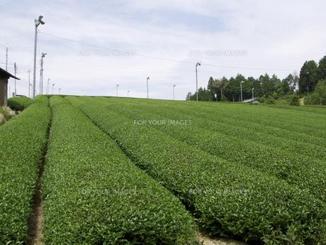 茶畑の素材 [FYI01149096]