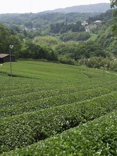 茶畑の素材 [FYI01149102]