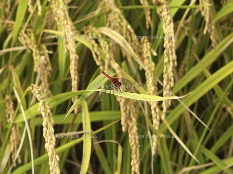 収穫間近の稲穂の素材 [FYI01149108]